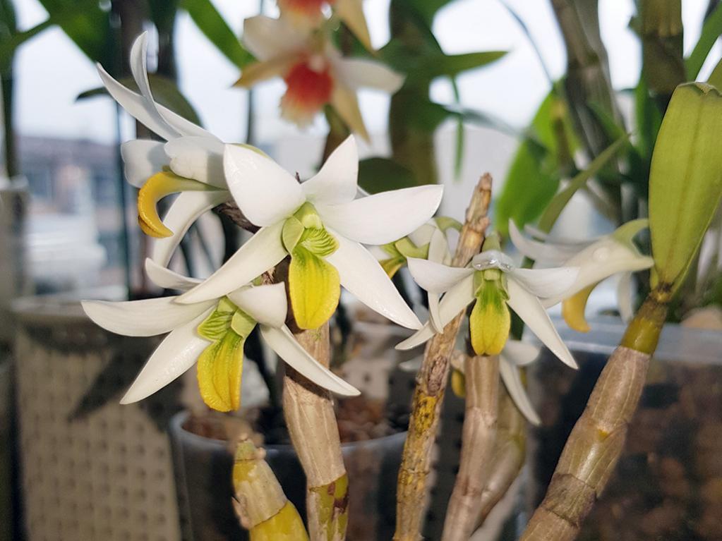 Formosae Dendrobiums-scabrillingue-jpg