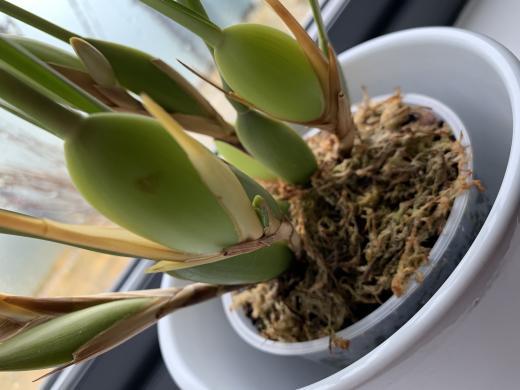 My new Maxillaria tenuifolia-f2bc248a-f90c-4026-ad70-a9a5b1d36a01-jpg