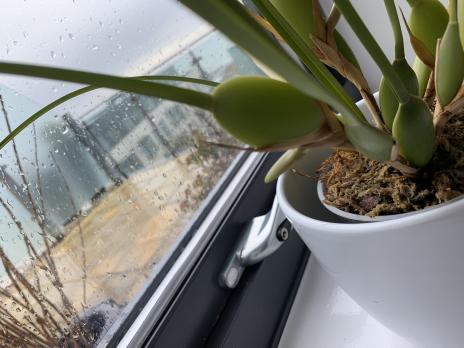 My new Maxillaria tenuifolia-6cb43cb2-57db-43dd-a9df-1a602a84a22f-jpg