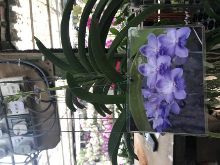 Is this vanda panchara delight orchids?-bdff153a-fe4f-4657-8046-9d671df525fd-jpg