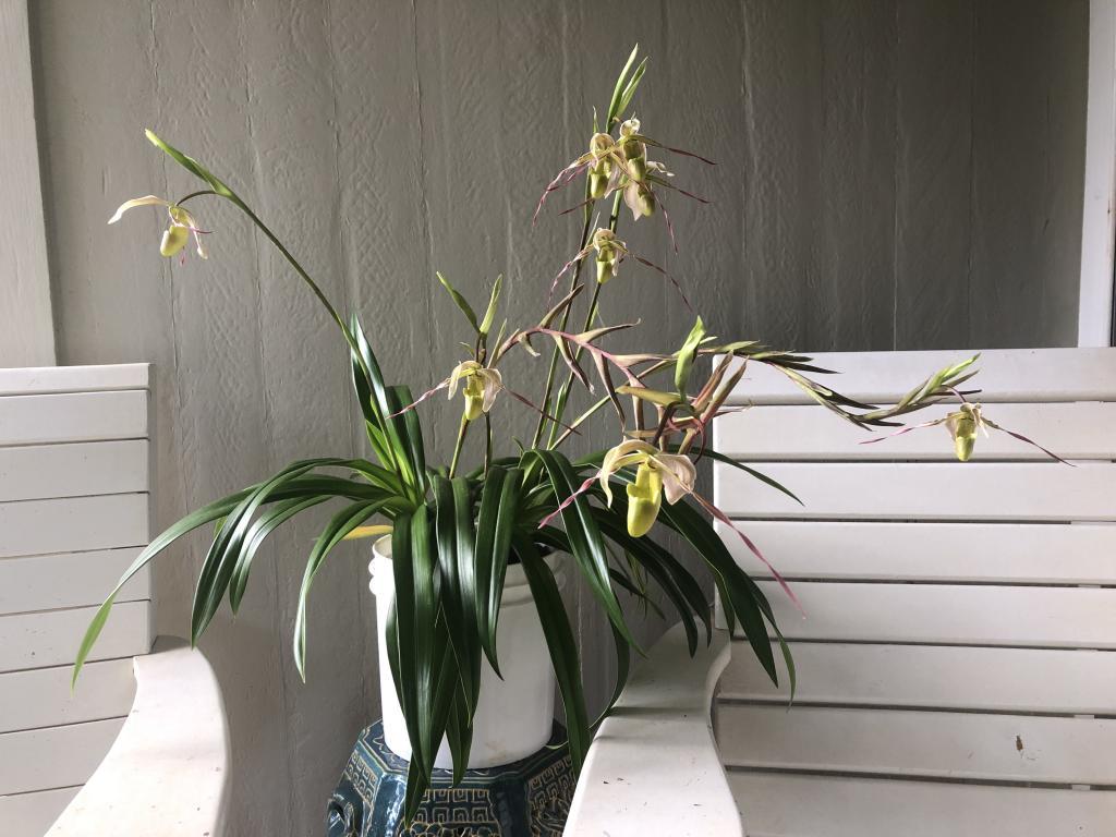 Phrag. longifolium first bloom-img_1812-jpg