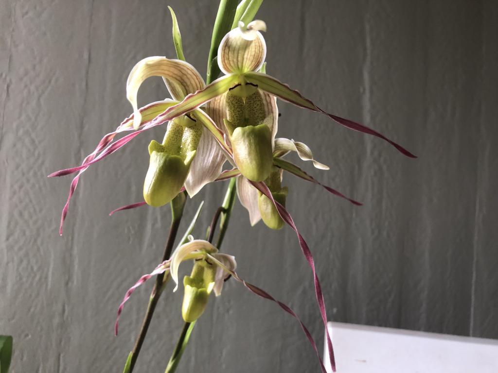 Phrag. longifolium first bloom-img_1814-jpg