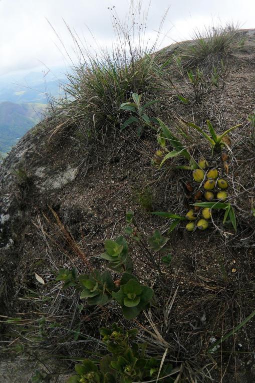 Zygopetalum and rup. Laelia in Rio de Janeiro-zygo1-jpg