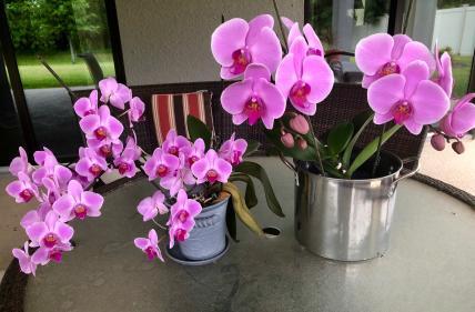 Yellowing leaves on blooming phalaenopsis orchid-img_4927-jpg