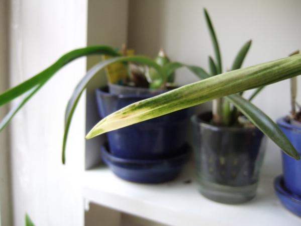 white streaks on encyclia leaves-dscf7382-jpg