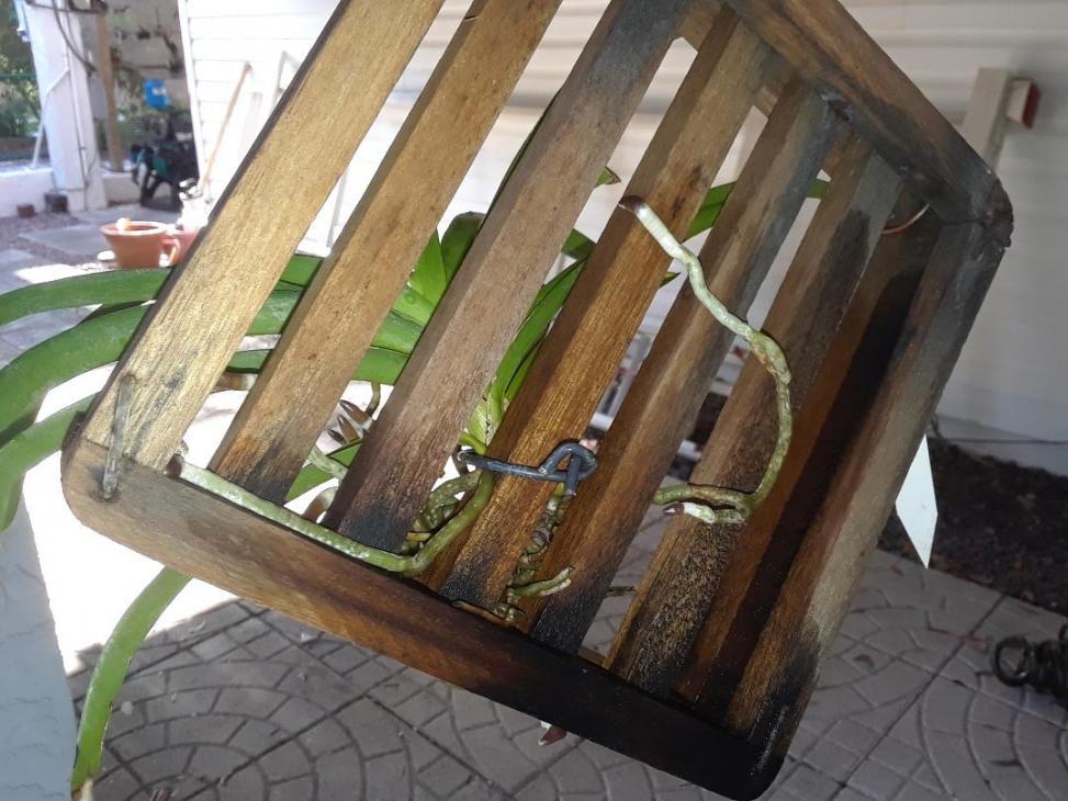 Upright Vanda roots-ascocenda_ruby_1_may_2019-jpg