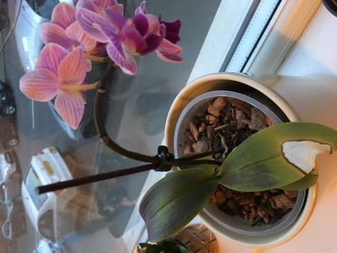 black leaves on my orchid, help-07a5a4c2-28e1-4d60-81c4-ae56be44e9a8-jpg