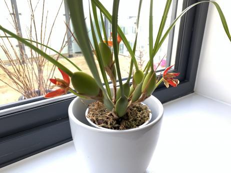 My new Maxillaria tenuifolia-7419dc3a-a142-474d-b788-896f7179f8d7-jpg