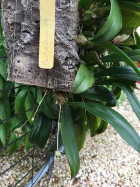 Bulbophyllum lepidum-72f31539-addc-4b1a-9423-c9f1cd44d39a-jpg