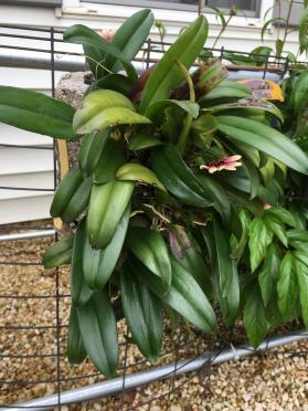 Bulbophyllum lepidum-2a8e48c6-0d49-4361-a361-0edffff26ec3-jpg