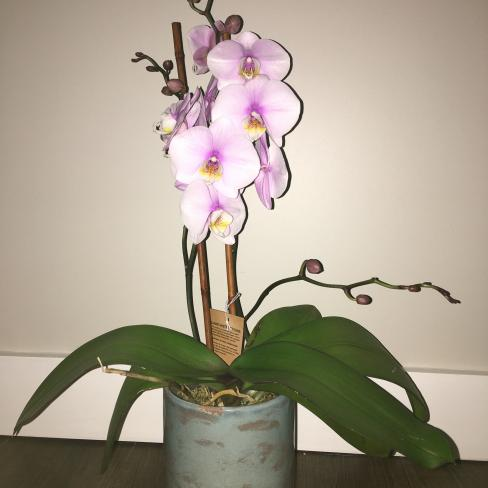 What is the cause for Phals with floppy leaves (not dehydration)-e04fd7b8-e22b-4056-a2e7-0300b13b7d5d-jpg