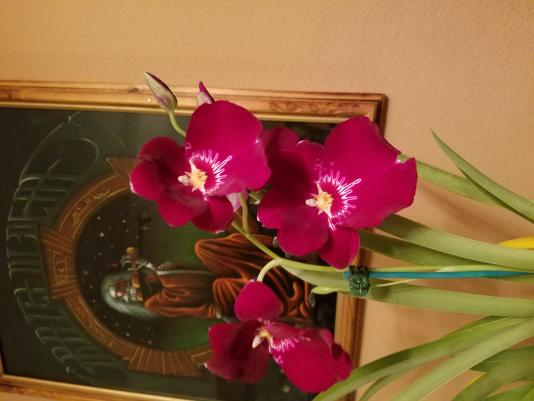 Miltoniopsis season, and forever the orange rot-6867399b-31a2-4a29-9187-5b3a5b5bfdc1-jpg