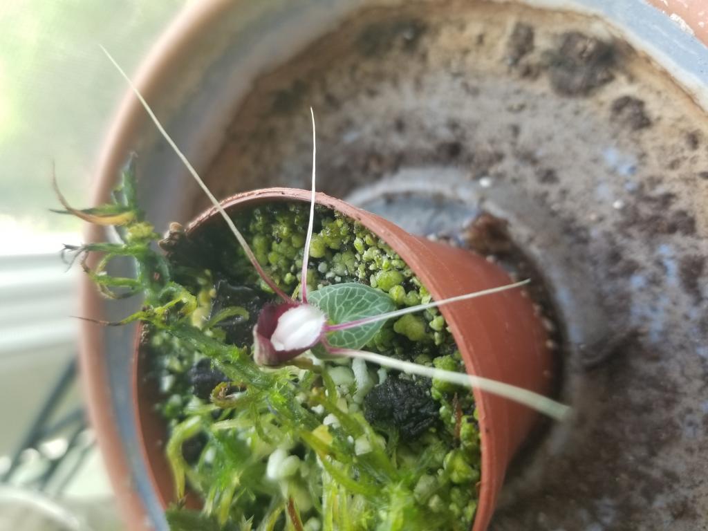 Corybas geminigibbus-15581885860047123157819524278444-jpg