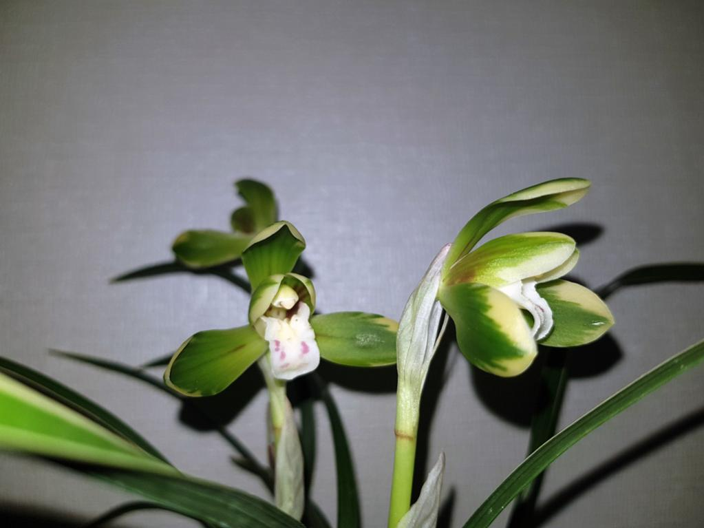 Cym. goeringii, variegated form-goeringii2-jpg