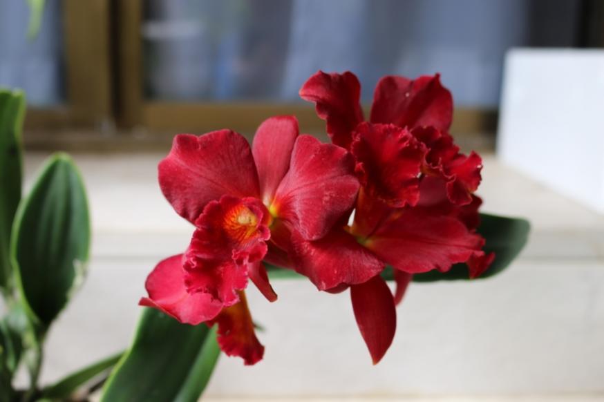 C. Jewel Red 'Shinzu'-jewel-red-shinzu-img_0863-jpg