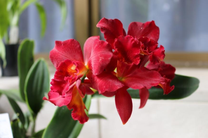 C. Jewel Red 'Shinzu'-jewel-red-shinzu_img_0866-jpg