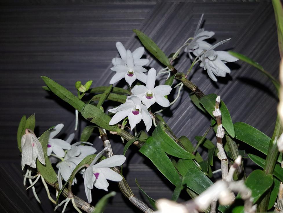 Dendrobium moniliforme 'Tenshikou 天紫晃'-den-moniliforme-tenshiko-1-jpg