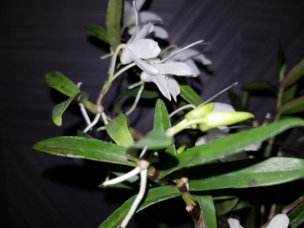 Dendrobium moniliforme 'Tenshikou 天紫晃'-den-moniliforme-tenshiko-3-jpg