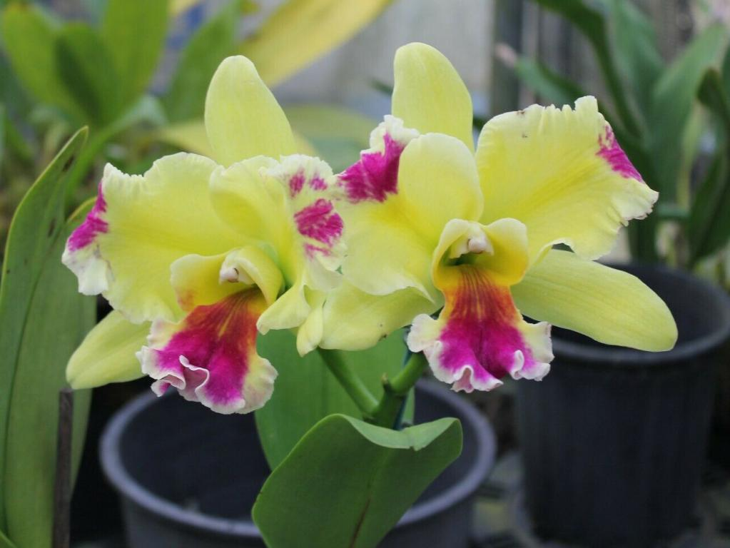 Rlc. Memoria Helen Brown 'Sweet Afton m. Splash'-memoria-helen-brown-sweet-afton-splash-jpg