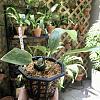 Help with Stanhopea potting-b41dc01a-039a-407a-b62c-8872503bd16c-jpg