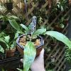 Help with Stanhopea potting-653dc353-f5c9-4d82-be29-76129ac9487f-jpg