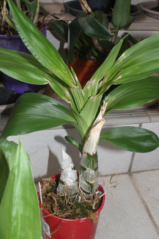 Relatively light watering of roots-catasetum-family1-jpg