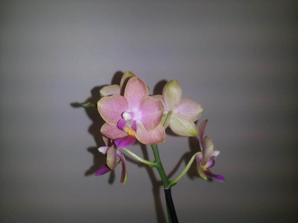 My first Phalaenopsis-phalaenopsis2-jpg