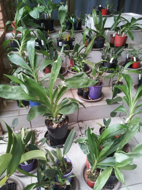 Relatively light watering of roots-catasetum-growth-jpg
