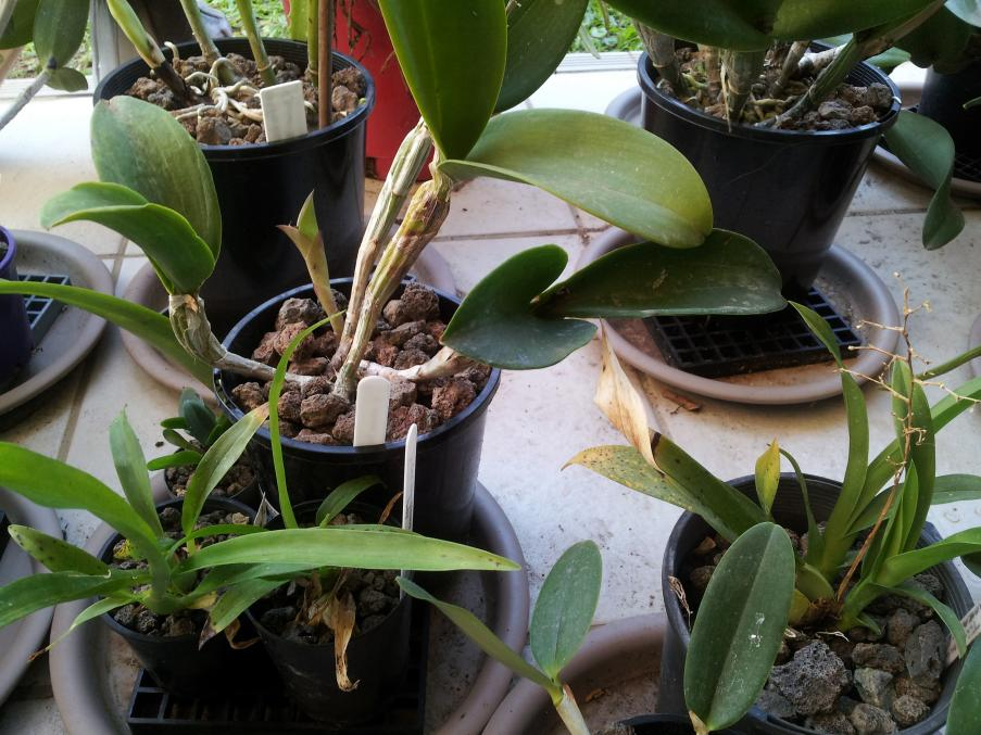 Can this Cattleya with dried roots be saved?-20200204_155910-jpg