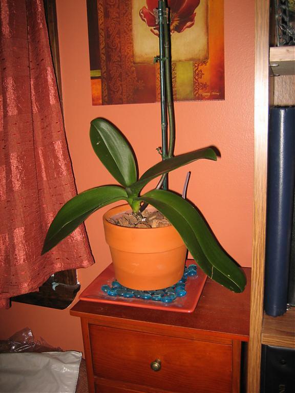 Phalaenopsis slowly losing its leaves...please help!-img_3960-jpg