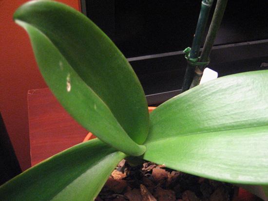 Phalaenopsis slowly losing its leaves...please help!-img_3953-jpg