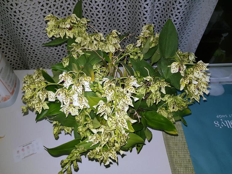 Dendrobium atroviolaceum-atro1-jpg