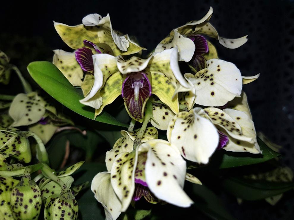 Dendrobium atroviolaceum-atro2-jpg