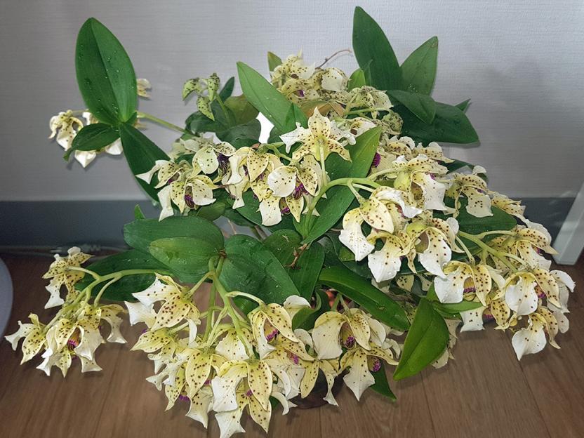Dendrobium atroviolaceum-atro3-jpg