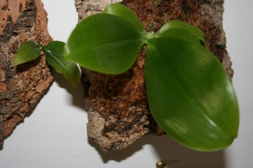 Phalaenopsis slowly losing its leaves...please help!-mounted-phalaenopsis-jpg