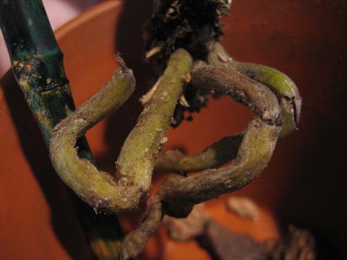 Phalaenopsis slowly losing its leaves...please help!-img_3966-jpg