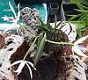 Leptotes bicolor, 4N-20200407_155913-2-jpg