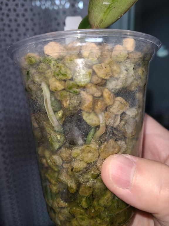 Cattleya warscewiczii var. sanderiana x sib seedling-catt-warscewiczii-3-jpg