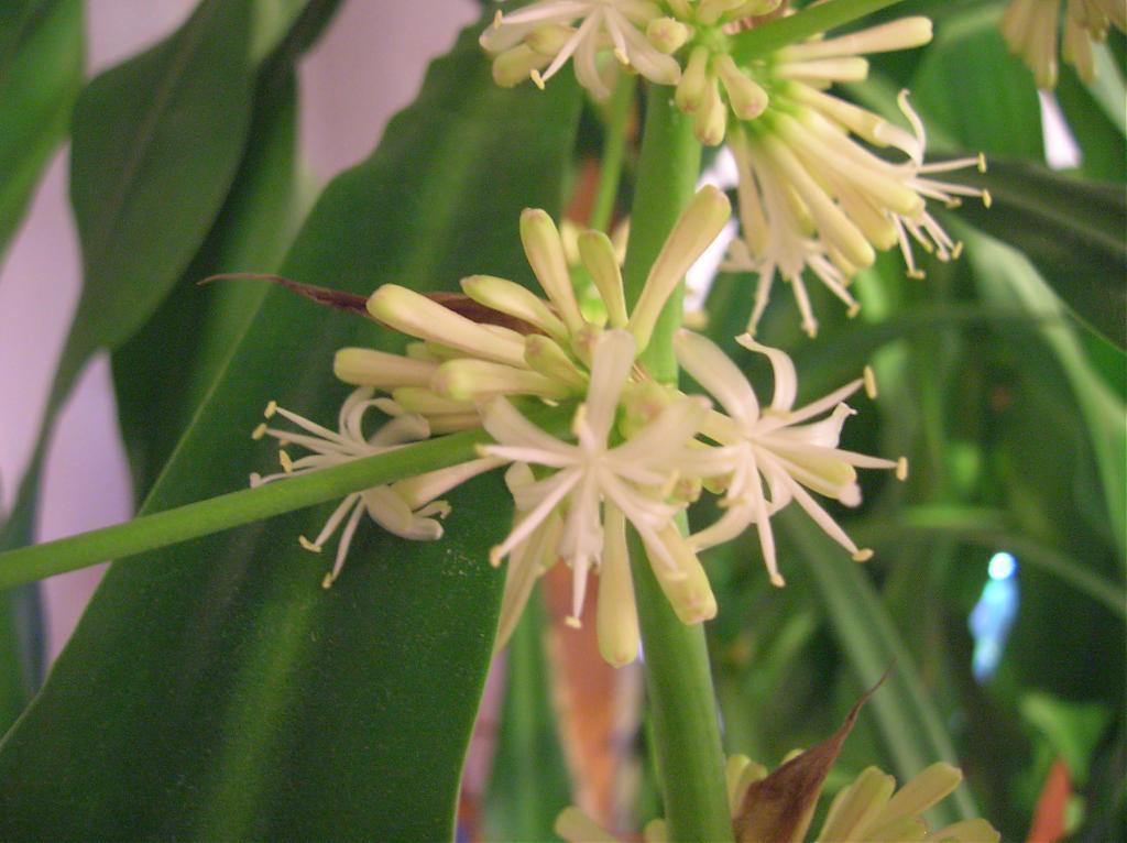 Dracaena fragrans in bloom-dscn3532-jpg