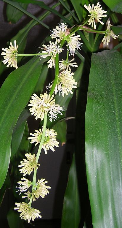Dracaena fragrans in bloom-dscn3533-01-jpg