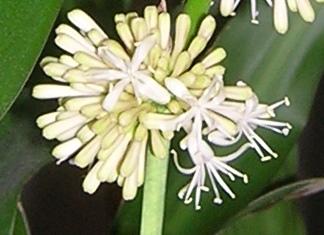 Dracaena fragrans in bloom-dscn3533-02-jpg