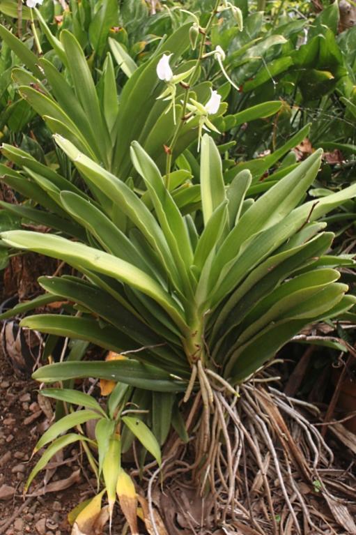Angcm. eburneum-angcm-eburneum3-jpg