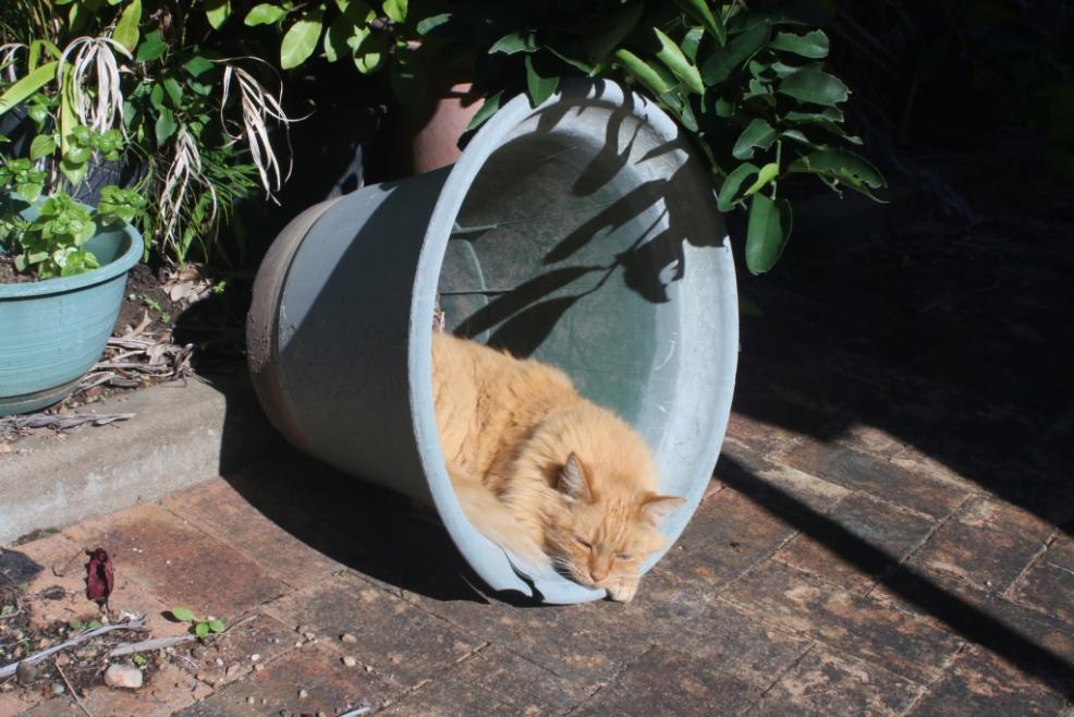 ginger cat-gingercat_pot6-jpg