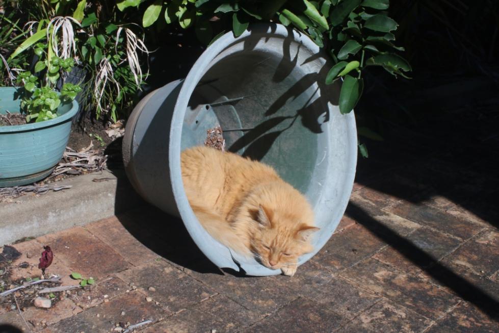 ginger cat-gingercat_pot7-jpg