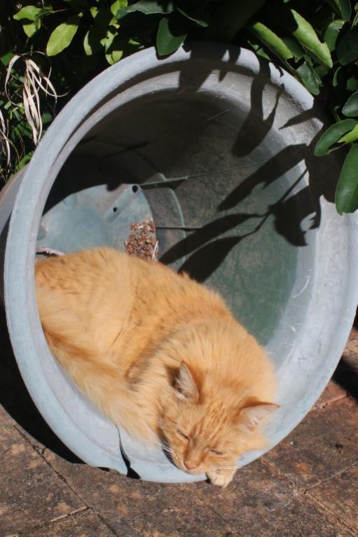 ginger cat-gingercat_pot8-jpg