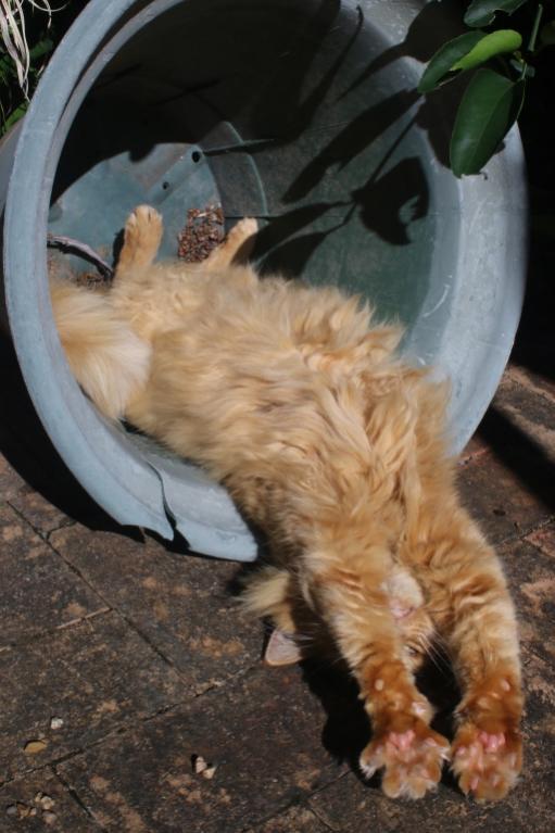 ginger cat-gingercat_pot10-jpg