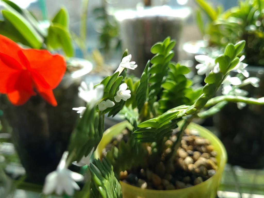Angraecum distichum-20201017_112729-jpg