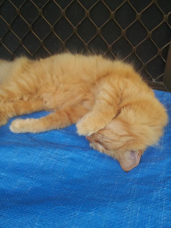 ginger cat-gingercat1_5-dec2020-jpg