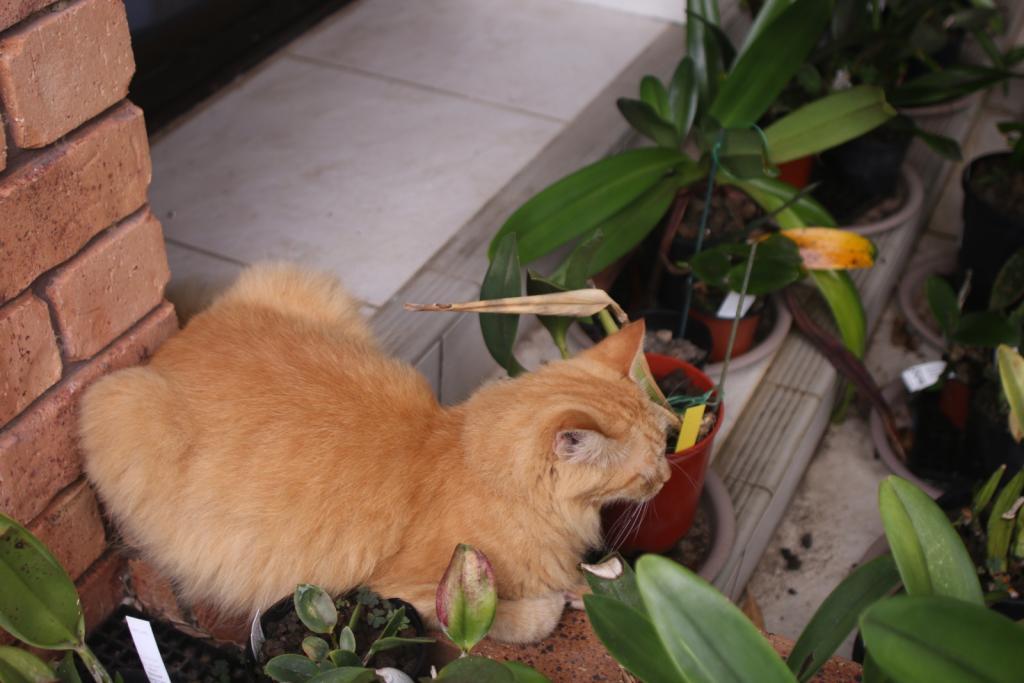ginger cat-gingercat1_18-dec2020-jpg