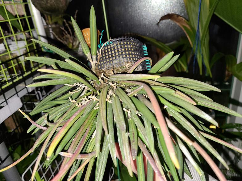 Leptotes bicolor bud watch-lpt-bicolor-1-jpg